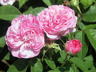 NUXE全新玫瑰花瓣潔膚系列,適合敏感肌膚的你
