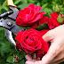Cara Merawat Tanaman Bunga Mawar Hias