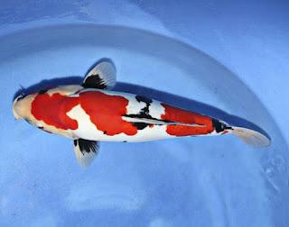 Jenis Ikan Koi Hi Showa