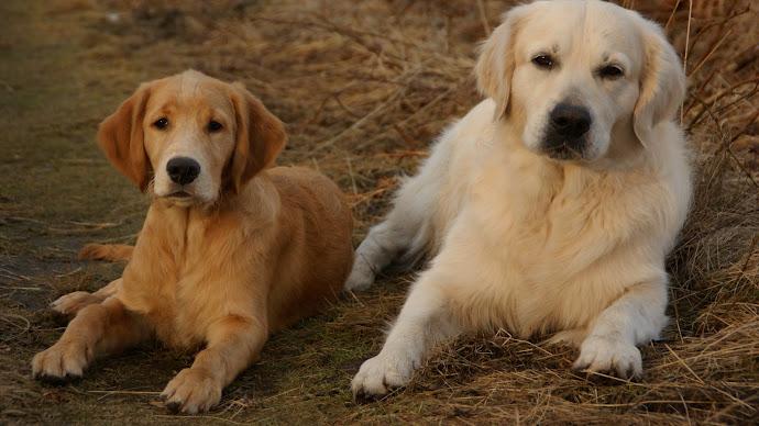 Wallpaper: Golden Retriever Dogs