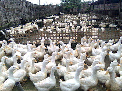 Rahasia Sukses Bisnis Usaha Ternak Bebek di Kampung