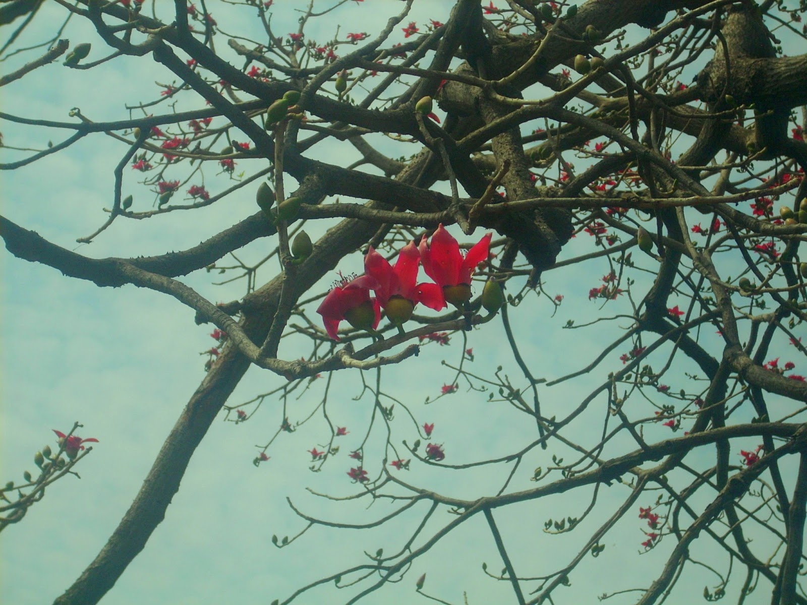 Photos: The red color tree (Shalmali or Silk cotton tree) -2016 ...
