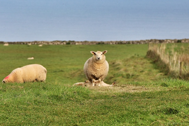 Ovejas en Irlanda del Norte