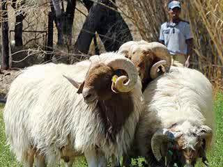 3 Domba Perah Paling Populer di Dunia