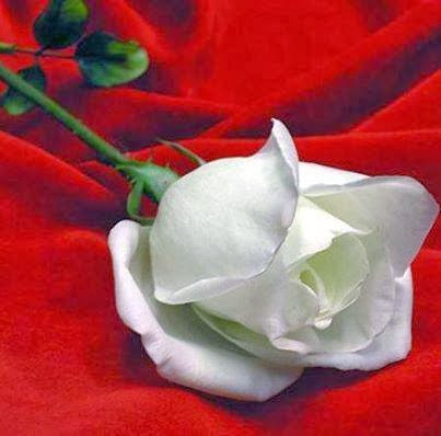 white rose with red back ground