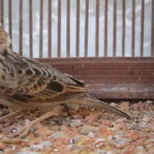 Cara Perawatan Burung Branjangan Yang Macet Bunyi