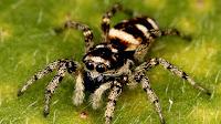 Giant Spider Photo_Araneae