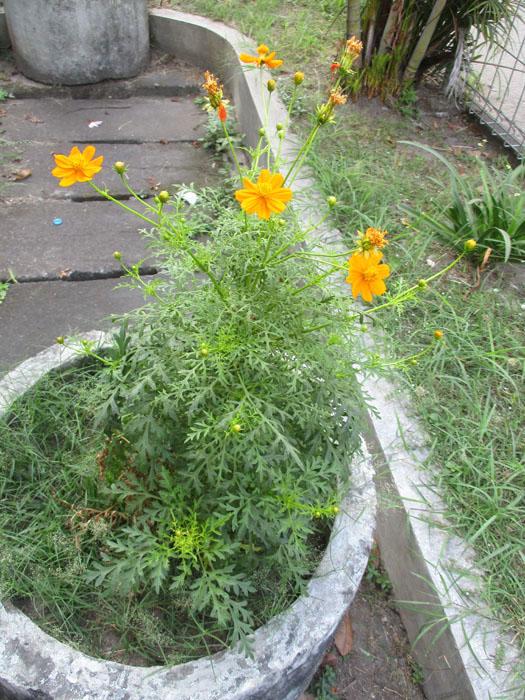Mewalik Jaya Bunga Cosmos Orange