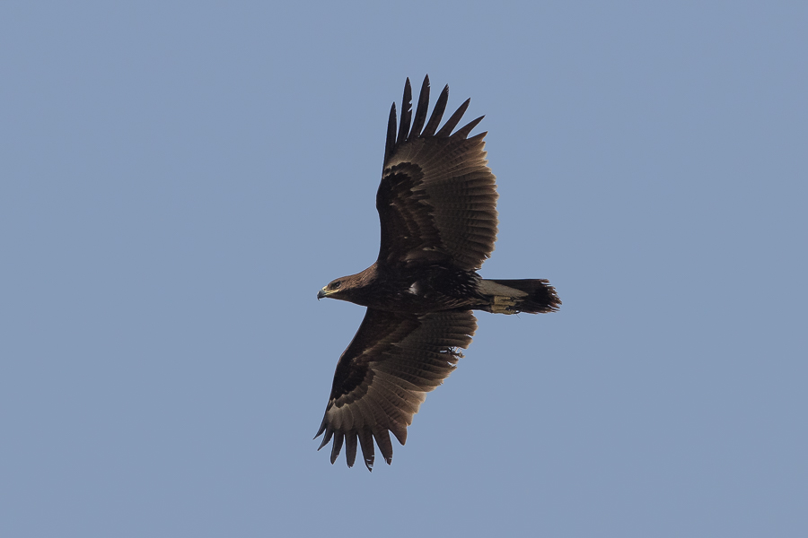 Greater Spotted Eagle