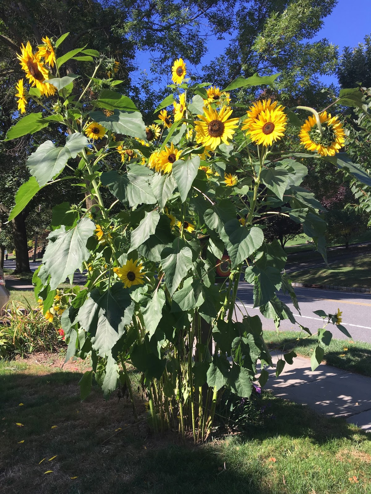 Mind body spirit odyssey after a long summer my sunflowers are finally in full bloom boldly towering over everything else in the front yard its nice to watch the smiles on izmirmasajfo