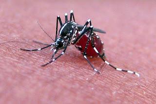 Genetycznie zmodyfikowane komary na Florydzie?