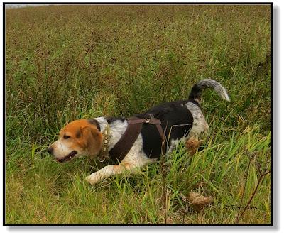 Beagle Emma hat bei jedem Wetter Spaß
