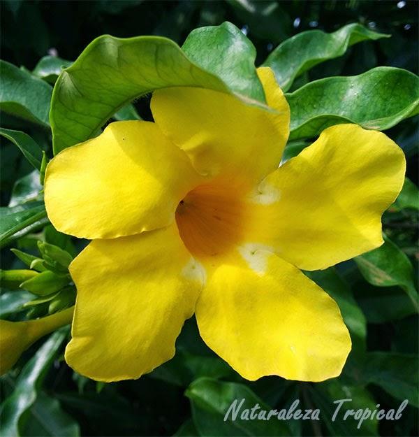 Flor de Allamanda (Trompeta amarilla)