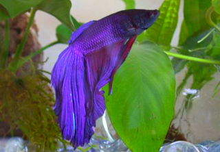 Ikan air tawar jenis cupang blue