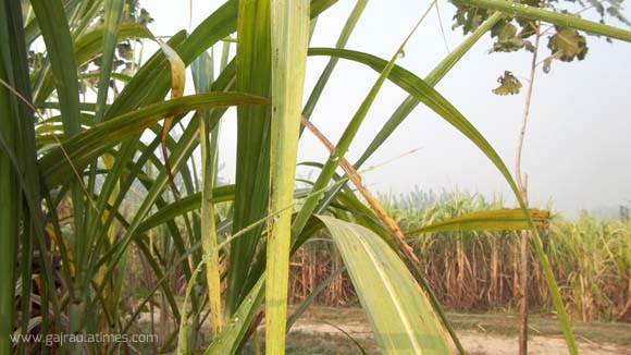 sugarcane plant in indian field