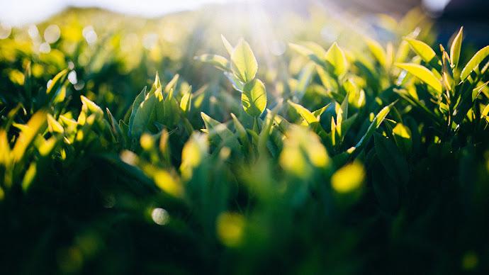 Wallpaper: Sun Light Between Green Leaves