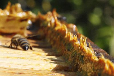 propolis,  propolis asli, melia propolis original, propolis brazil, suplemen alami, propolis hutan amazon