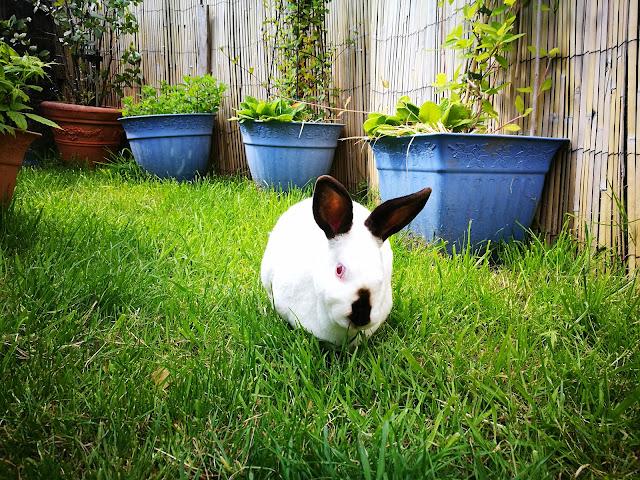 Sunday Bunny Blogging >> Speedy The Cheeky House Bunny