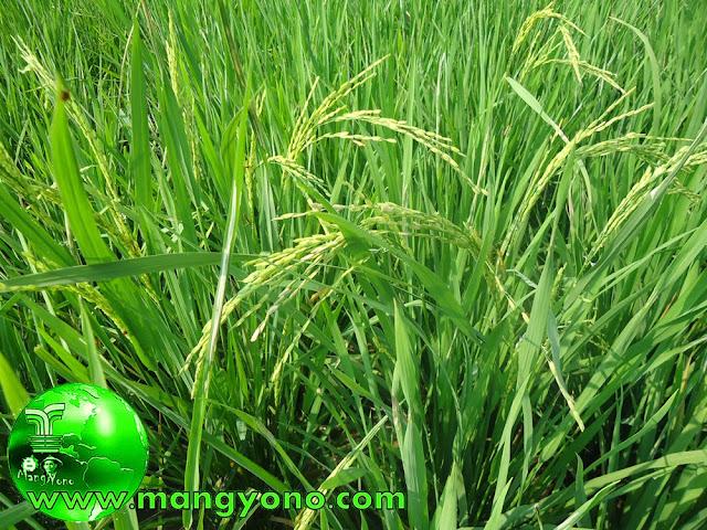 Terliha tanaman padinya sudah mengeluarkan bunga, sebentar lagi panen nih hehehe. Ini poto jepretan hari Minggu 9/11/2014 di sawah saya.