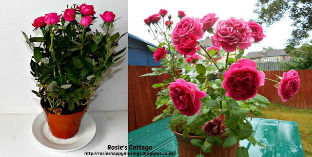 Miniature roses in December & May 31st - ready to be re-potted again