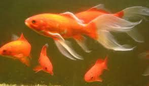 il giardino delle naiadi carassius auratus pesce rosso