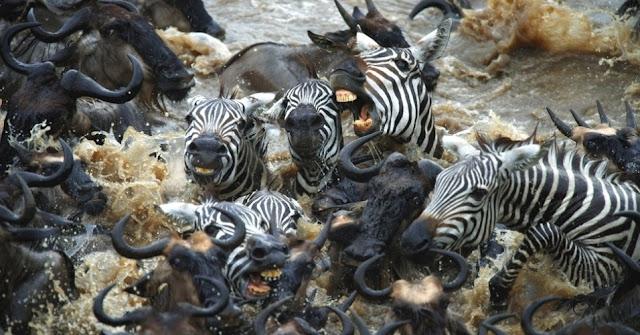 Seus maiores problemas são a perda de seu habitat natural e a caça por sua pele.  Apesar dos pesares, a zebra é um dos poucos mamíferos africanos, de grande porte, que ainda não se encontra em extinção. Isso porque, a caça se concentra em animais de maior aproveitamento e lucratividade comercial. Deve-se considerar, também, que esses equinos não são domesticáveis.  Resumindo, é mais fácil viver entre muitas feras, que sobreviver a uns poucos humanos.