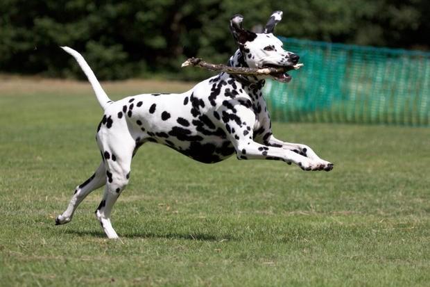 Chó Đốm – Dalmatian