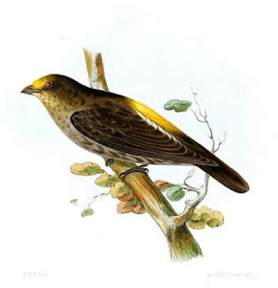 Yellow-rumped honeyguide - Indicator xanthonotus