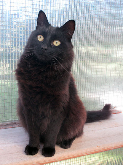 Black cat Fluffy needs a home