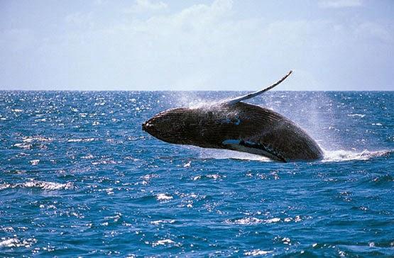 Muestra BCS avistamientos de ballenas como atractivo turístico