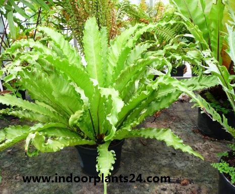 BIRD 'S-NEST FERN Plant