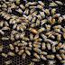 Mulher morre após ser atacada por enxame de abelhas em Jaguarari