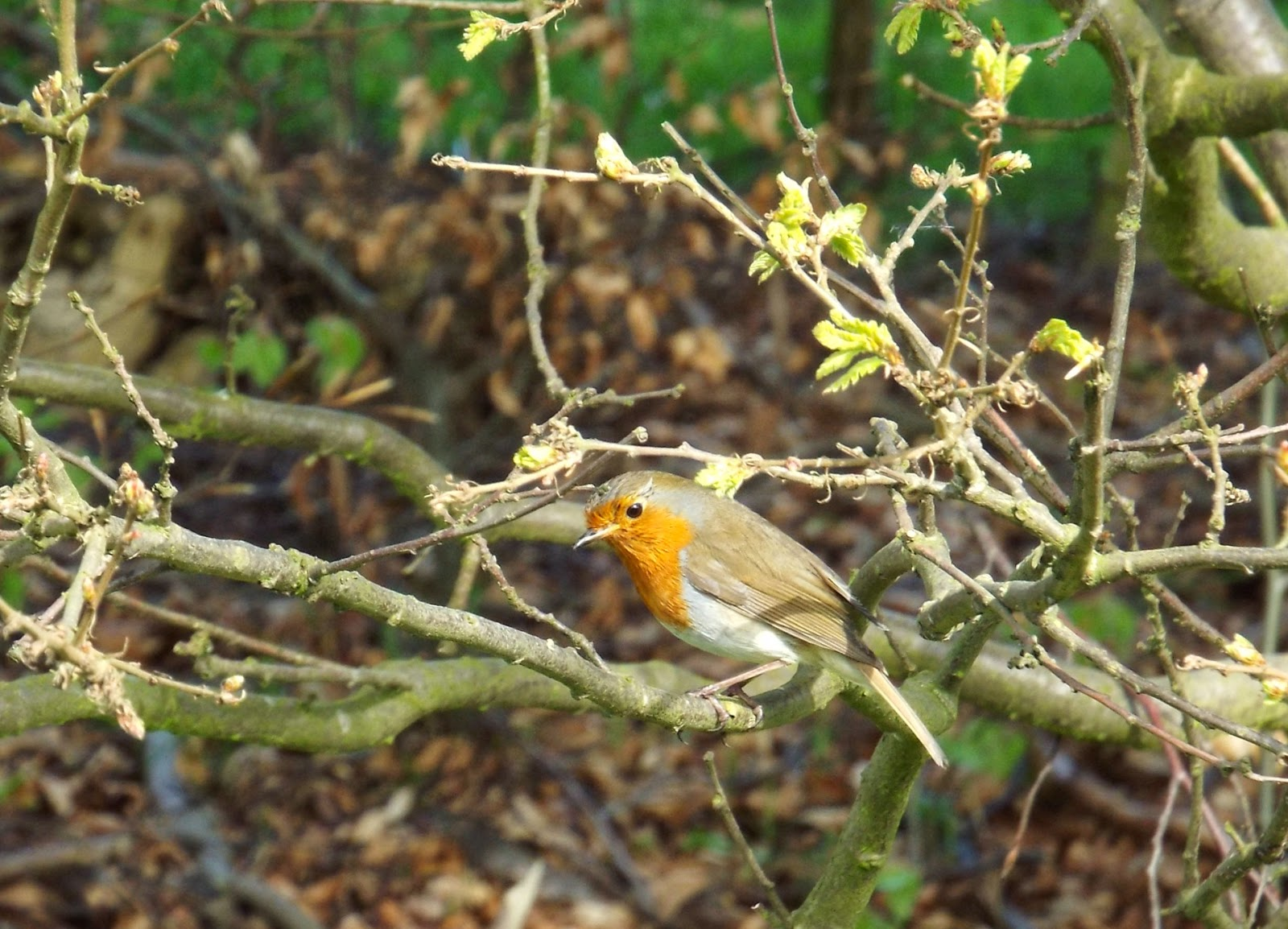 Robin-Redbreast