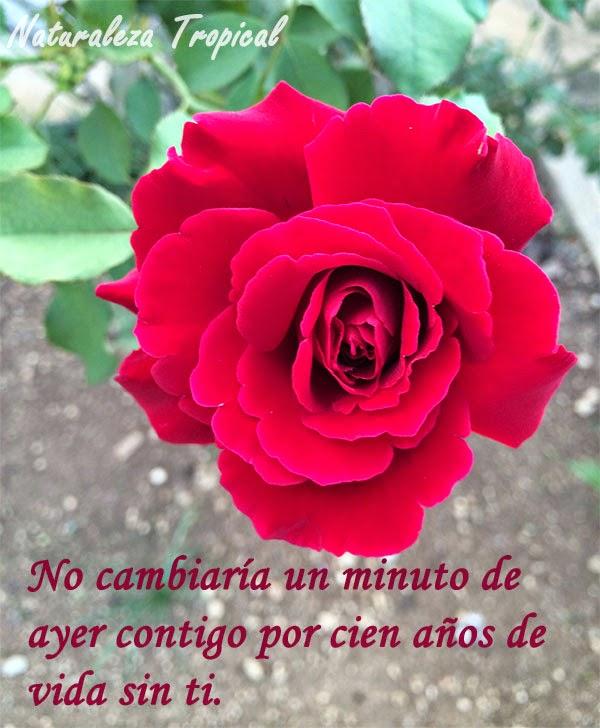 Postal de amor con rosa de fondo