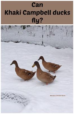 Can Khaki Campbell ducks fly?