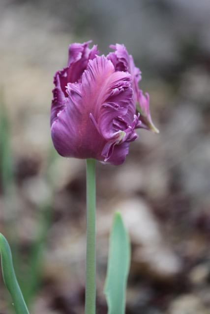 tulipe perroquet violette