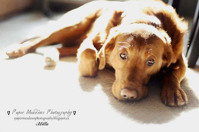 Paper Meadows Photography Blog-Milla -Dog Photography-Pets