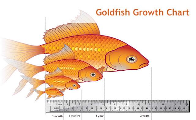 japon balıklarının büyüme süresi