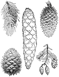 https://4.bp.blogspot.com/-51jyUdszwuo/Wx8_-GiitaI/AAAAAAAAjGY/WOHN5uIh4zAgCoBb-SaklYEHT421C3izwCLcBGAs/s320/pinecone-drawings-botanical-illustration-collage-5.jpg