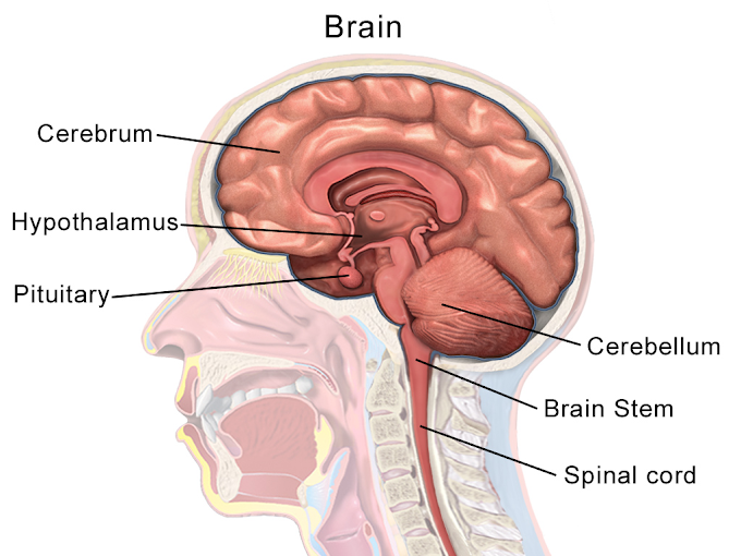 Structure of human brain and function | Amazing facts on human brain