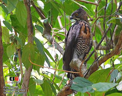Sulawesi Hawk eagle