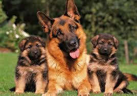 Perros pastor y boyeros