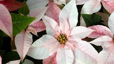 Euphorbia pulcherrima: desde México con color