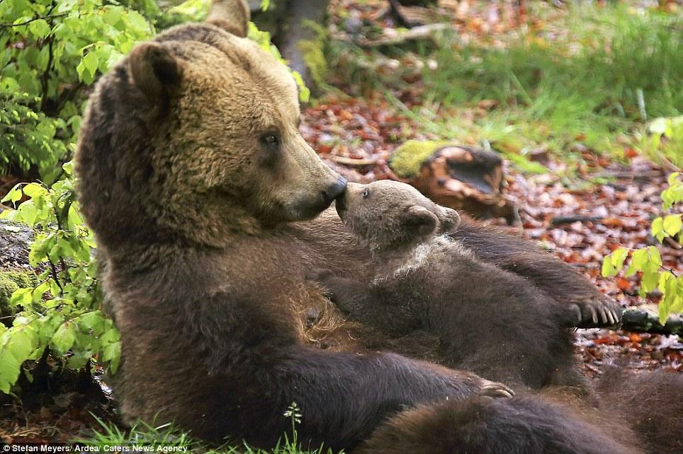 Free Gay Big Chubby Bears