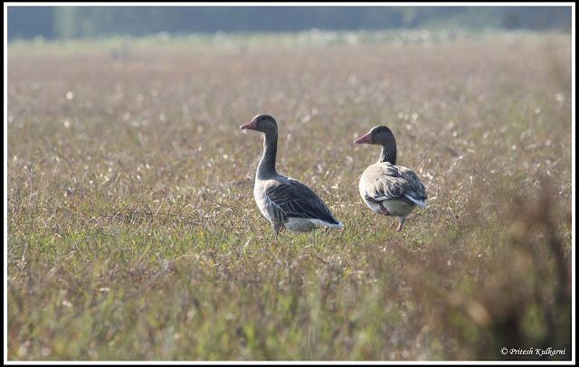 Grey Leg goose