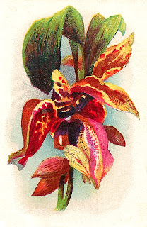 orchid flower botanical artwork antique image download