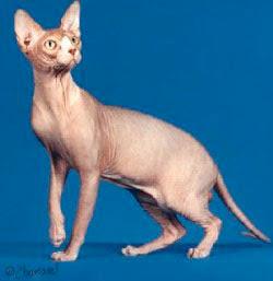 a3fce1ea9 O Sphynx é um gato raro e de aparência estranha. Ele praticamente não  possui pêlo e por este motivo não agrada muitas pessoas. Mas há quem  garanta que ele é ...