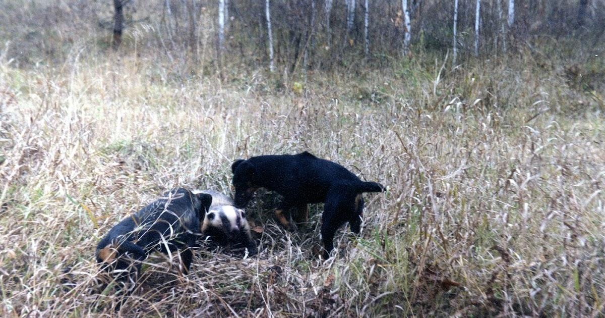 Охота с таксой на барсука и лису: Такса