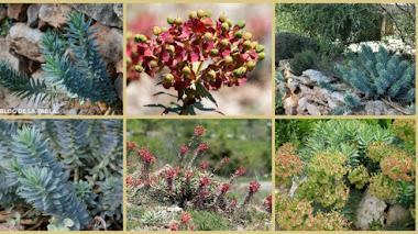 Euphorbia rigida. Una suculenta mediterránea excelente para jardines naturalistas y sostenibles