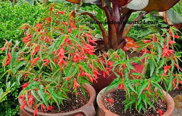 Begoniaceae Plants Guide- Wax Begonia, Begonia Rex Grandis ,Elatior , Angel Wing